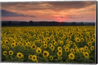 Taps over Sunflowers Fine-Art Print