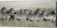 Grant's Zebra, Masai Mara, Kenya Fine-Art Print