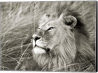 African Lion, Masai Mara, Kenya 1 Fine-Art Print