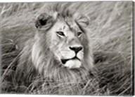 African Lion, Masai Mara, Kenya 2 Fine-Art Print