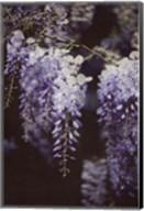 Wisteria Cascade I Fine-Art Print