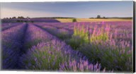 Fields of Lavander Fine-Art Print