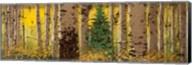 Panor Aspen Lone Pine Fine-Art Print