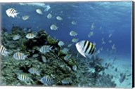 School of sergeant major fish, Nassau, The Bahamas Fine-Art Print