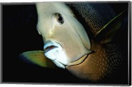 Close-up view of a Gray Angelfish, Grand Cayman Fine-Art Print