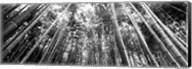 Low angle view of bamboo trees, Arashiyama, Kyoto, Japan Fine-Art Print
