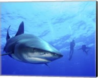 Diver swimming with Oceanic Whitetip Sharks, Cat Island, Bahamas Fine-Art Print