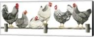 Hens, White Background Fine-Art Print