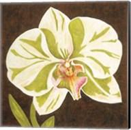 Surabaya Orchid Petites A Fine-Art Print