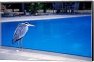 Big Blue Heron, Maldives Fine-Art Print