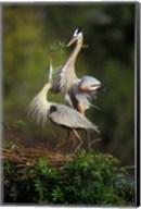 Great Blue Herons in Courtship Display Fine-Art Print