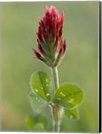Crimson or Italian flora clover, Mississippi Fine-Art Print