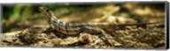 Iguana on Log, Costa Rica Fine-Art Print