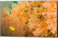 Golden Dream Reef, Bligh Water Area, Viti Levu, Fiji Islands Fine-Art Print