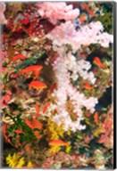 Schooling Fairy Basslet fish, Fiji Fine-Art Print