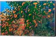 Schooling Fairy Basslet fish, Viti Levu, Fiji Fine-Art Print