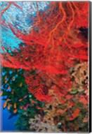 Gorgonian Sea Fan, Fairy Basslets fish, Fiji Fine-Art Print