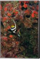Bannerfish, Viti Levu, Fiji Fine-Art Print