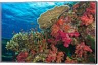 Fairy Basslet fish, Fiji Fine-Art Print