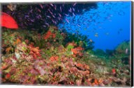 Coral Cod and Anthias fish, Viti Levu, Fiji Fine-Art Print