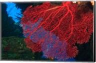 Gorgonian Sea Fan, Marine life, Viti Levu Fiji Fine-Art Print