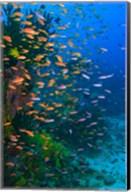 Scuba Diver, Fairy Basslet fish Viti Levu Fiji Fine-Art Print