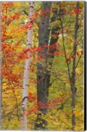 Fall in a Mixed Deciduous Forest in Litchfield Hills, Kent, Connecticut Fine-Art Print