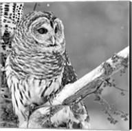 White Owl Fine-Art Print