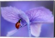 Ladybird On Purple Hydrangea Fine-Art Print