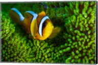 Yellow Clownfish On Green Anemon Fine-Art Print