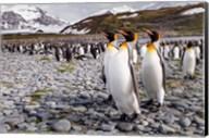 Penguins Of Salisbury Plain Fine-Art Print