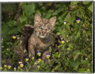 Bobcat Kitten In Wildflowers Fine-Art Print