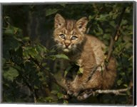 Bobcat Kitten On Branch Fine-Art Print