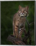 Bobcat Poses On Tree Branch 1 Fine-Art Print