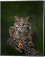 Bobcat Poses On Tree Branch 2 Fine-Art Print