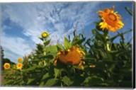 Sunflower Sky Fine-Art Print