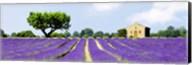 Lavender Fields, France Fine-Art Print