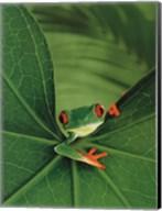 Tree Frog Fine-Art Print