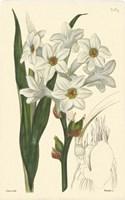 White Curtis Botanical I Framed Print