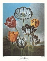 A Group of Tulips Framed Print