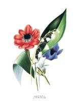 Flowers (Untitled) Anemone Framed Print