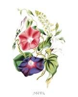 Flowers (Untitled) - Morning Glory Framed Print