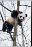 China, Chengdu Panda Base Baby Giant Panda In Tree Fine-Art Print