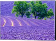 France, Provence, Lavender Field On The Valensole Plateau Fine-Art Print