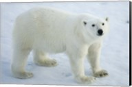 Greenland, Scoresby Sound, Polar Bear Standing On Sea Ice Fine-Art Print