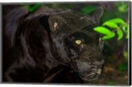 Black Jaguar, Belize City, Belize Fine-Art Print