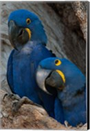 Brazil, Pantanal Wetlands, Hyacinth Macaw Mated Pair On Their Nest In A Tree Fine-Art Print