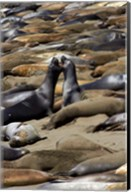 Northern Elephant Seals Fighting, California Fine-Art Print