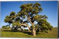 California, Cottonwood Tree Fine-Art Print