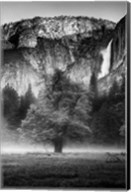 Misty Californian Oak (BW) Fine-Art Print